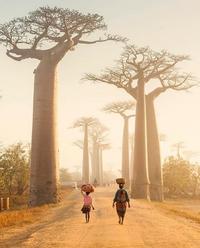 Les baobabs de Madagascar