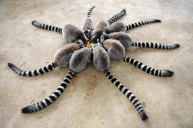 Ou rassemblement de lémuriens.