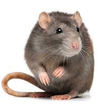 Résultats du concours de rats