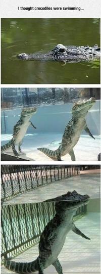 La nage des crocodiles