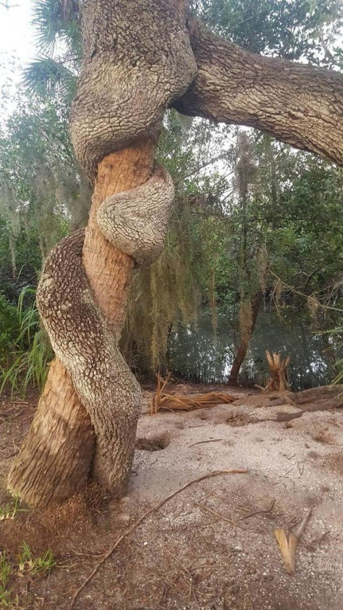 Des arbres qui ont grandi ensemble.