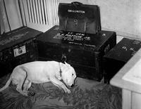 Le chien de Patton.