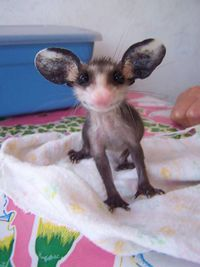 Oh que tu as de grandes oreilles !
