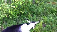 Je suis une chèvre