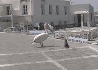Pélican vs chat