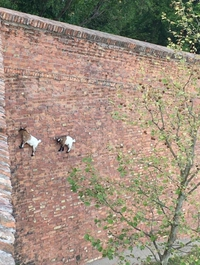Balèze les chèvres