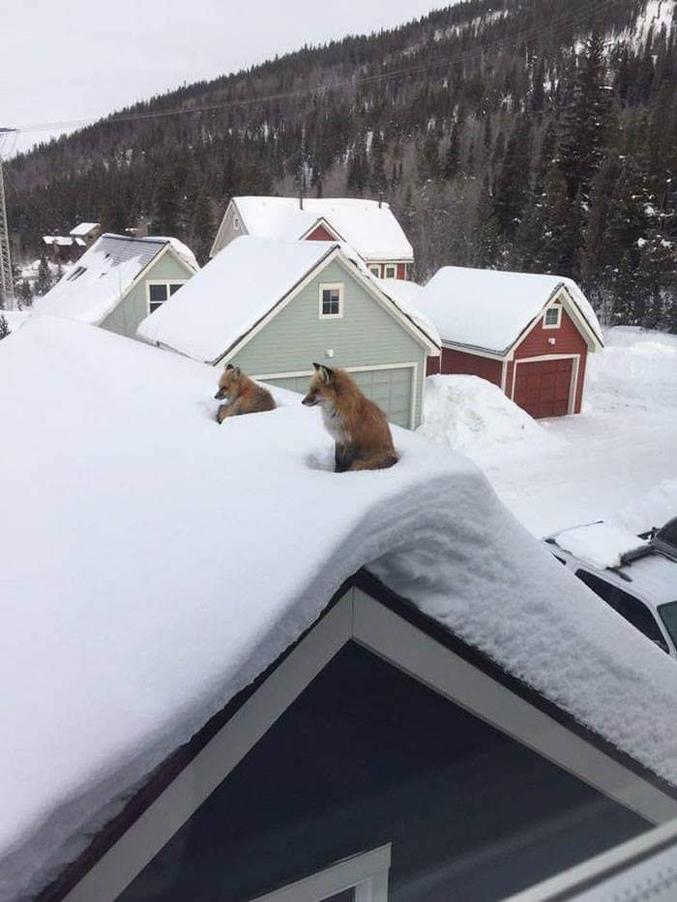 Le renard sur le toit.