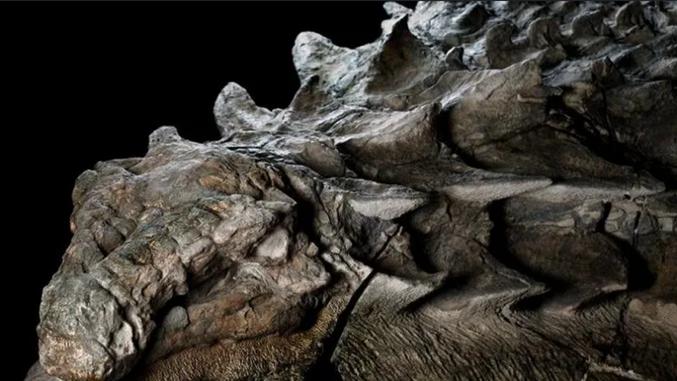 Il y a environ 110 millions d'années, cet herbivore cuirassé s'est frayé un chemin jusqu'à ce qui est aujourd'hui l'ouest du Canada, lorsqu'une rivière en crue l'a emporté en pleine mer. L'ensevelissement sous-marin du dinosaure a permis la conservation de son armure dans les moindres détails. lien avec autres photos : https://www.nationalgeographic.fr/archeologie/le-fossile-de-dinosaure-le-plus-impressionnant-quon-ait-jamais-vu?gallery=100336&image=dino3