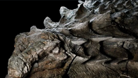 Fossile de nodosaure vieux de 110 millions d'années incroyablenent bien conservé