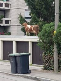 Comme une vache sur le toit