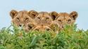 Les lions...