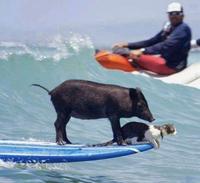Surfeur cochon