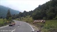 Le mouton tueur d'Homme