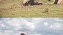 Qui est le plus fort : le buffle ou l'éléphant ?