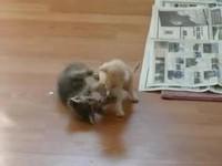 Bagarre de chaton