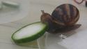 Qui avale une rondelle de concombre