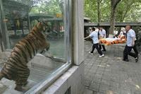Que pourrait bien dire ce tigre ?
