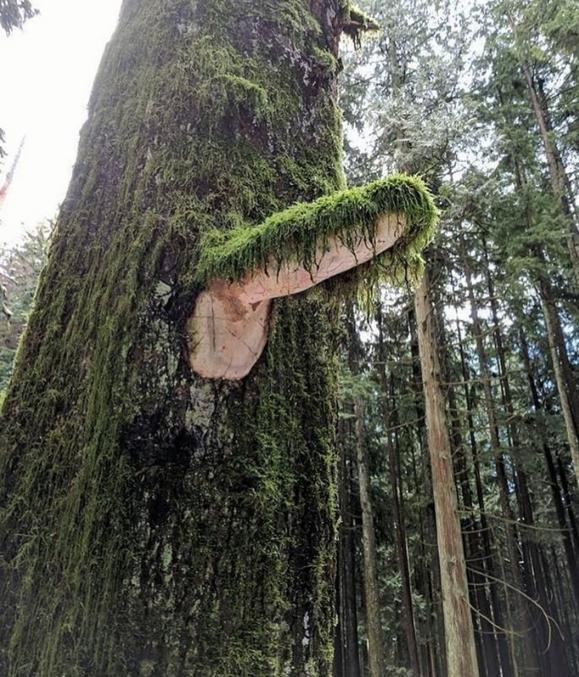 Trouver le nord sans boussole dans la forêt ?  C'est facile, la mousse est toujours plus développée coté nord. Scout toujours !!