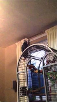 Perroquet bombardier
