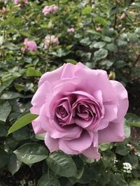 Une rose(s) siamoise(s) ?