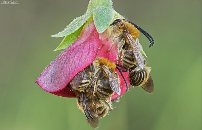 Des abeilles le matin à la sortie de la nuit.  Photo prise par Django Maurel, photographe d'insectes provencaux rencontré lors d'une expo. Un vrai régal de discuter avec lui (je vous mets pas son facebook, flickr, etc... vous trouverez bien tout seuls ;) )