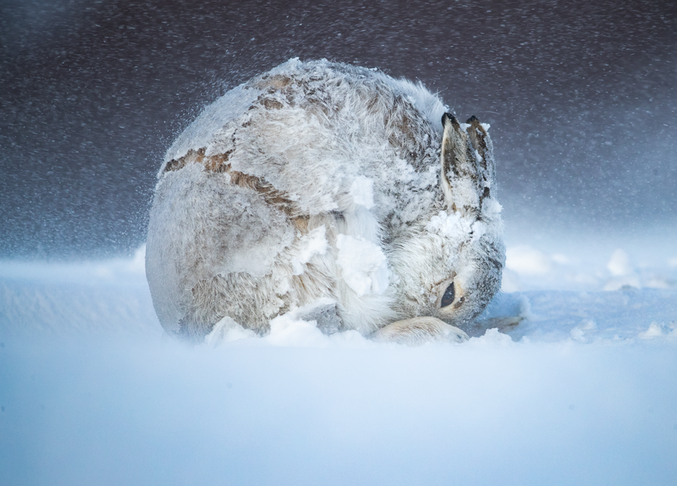 """Hare Ball"" par Andy Parkinson Photo gagnante du BigPicture Natural World Photography 2020."