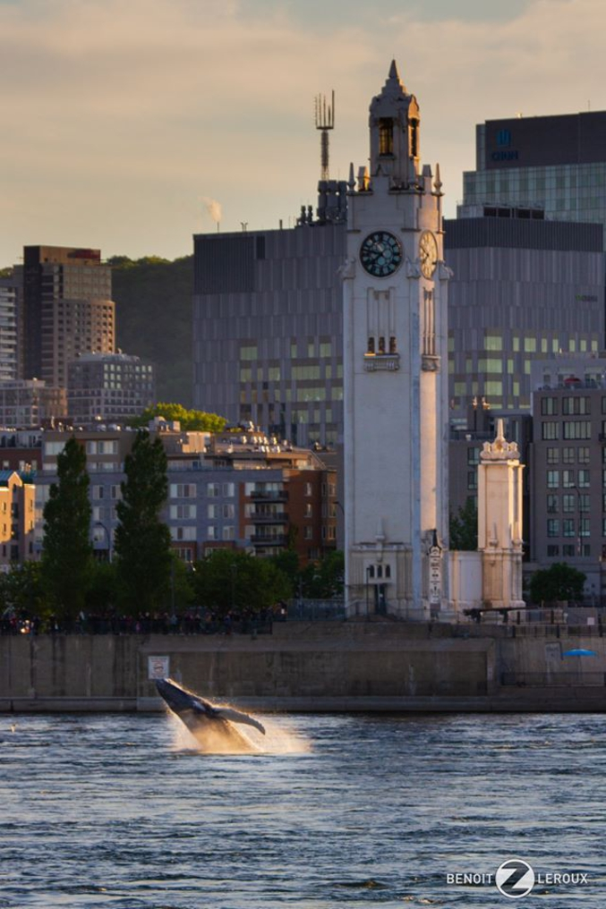 Depuis quelques jours, une jeune baleine à bosse de +/-3 ans a remonté le fleuve St Laurent sur plus de 400km pour s'établir le long des quais et dans les eaux encore profonde devant le vieux port de Montréal. Les courants forts des rapides de Lachine d'un côté et la voie navigable, faible tirant d'eau, écluses,...de l'autre, l'empêche d'aller plus loin. Ses chances de survie sont faibles, eau douce, nourriture, trafic maritime, si elle prolonge son séjour dans ces lieux. Crédit Photo Benoît Z Leroux https://www.ledevoir.com/societe/environnement/579908/une-baleine-a-bosse-reperee-a-montreal