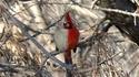 Hermaphrodisme cardinal
