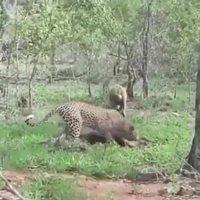 La hyène et le léopard.