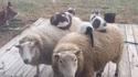 Comme chats et moutons