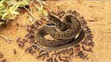 Ants in a battle with a snake in a terrible scene !! Ant and the snake in a dangerous war scene !!