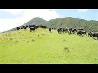 Vaches vs voiture radiocommandé