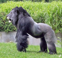 Un gorilion