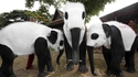 Les pandas moins en danger que les éléphants