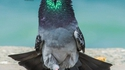 Le prince des pigeons