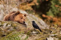 L'ours et le corbeau