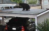 Yolo, je suis un ours