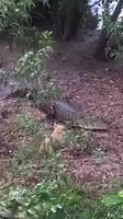 Petit chien met en déroute des alligators