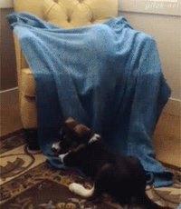 Un chien sous couverture