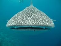 Si un requin baleine voit une femelle à son goût, il peut la manger des yeux... et plus, si affinité..