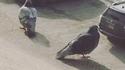 Pigeons géants