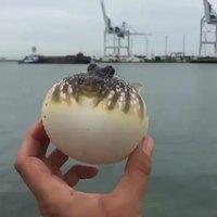 Un poisson gonflé à bloc