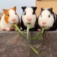 Hamster kawaii