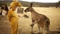 Des kangourous