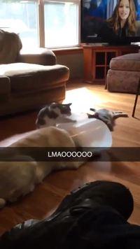 Le chat adore son nouveau jouet !