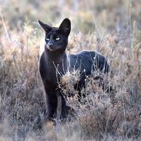 Serval noir