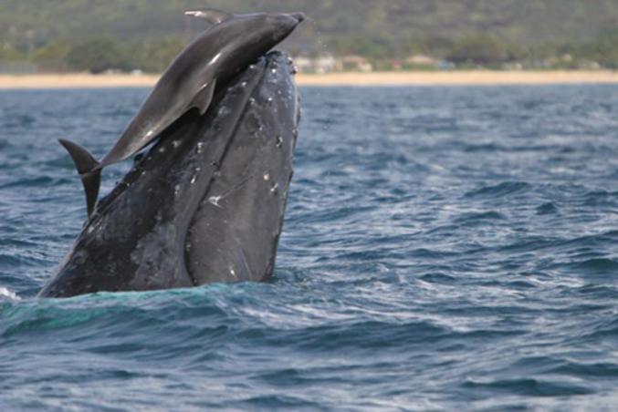 Une rencontre plutôt brutale entre un dauphin et une baleine.