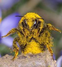 Accro au pollen