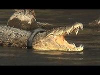 Un crocodile prisonnier d'un pneu