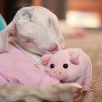 Jigo, le petit agneau